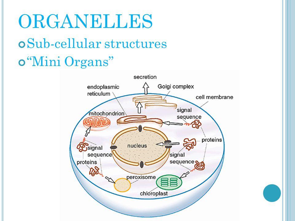 "ORGANELLES Sub-cellular structures ""Mini Organs"""
