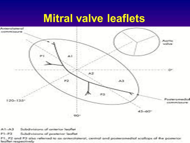 Mitral valve leaflets