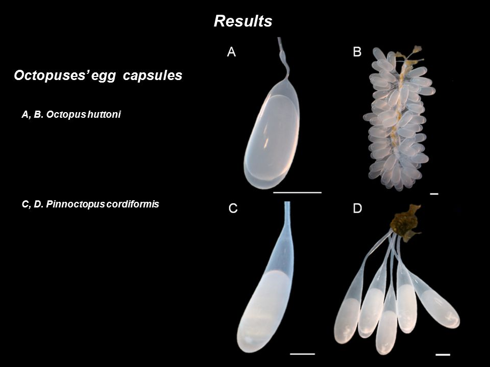 Results Octopuses' egg capsules A, B. Octopus huttoni C, D. Pinnoctopus cordiformis