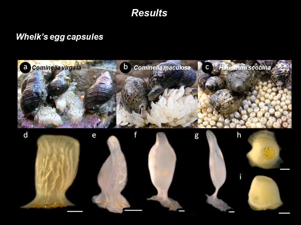 Results Whelk's egg capsules Cominella virgata Cominella maculosa Haustrum scobina