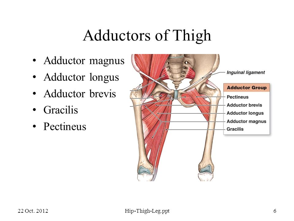 Adductors of Thigh Adductor magnus Adductor longus Adductor brevis Gracilis Pectineus 22 Oct.