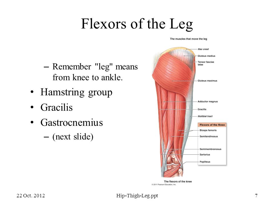 Flexors of the Leg – Remember leg means from knee to ankle.