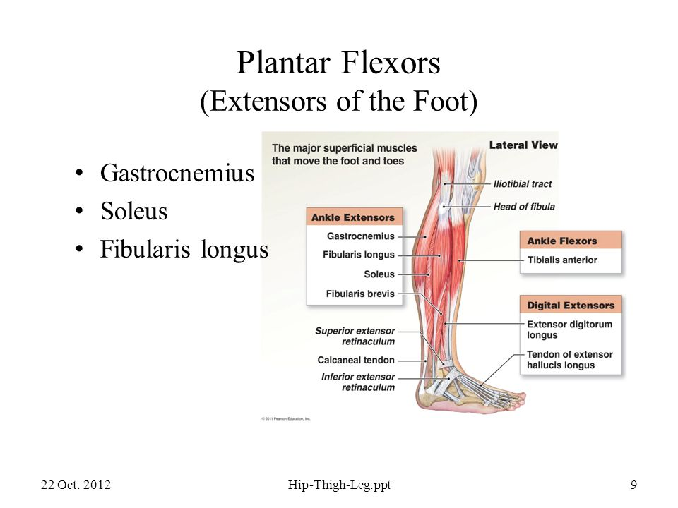 Dorsiflexors (Flexors of the Foot) 22 Oct.