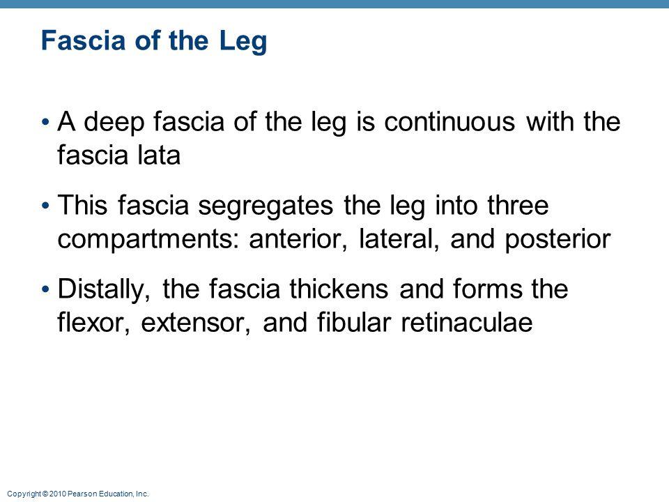 Copyright © 2010 Pearson Education, Inc. Fascia of the Leg A deep fascia of the leg is continuous with the fascia lata This fascia segregates the leg
