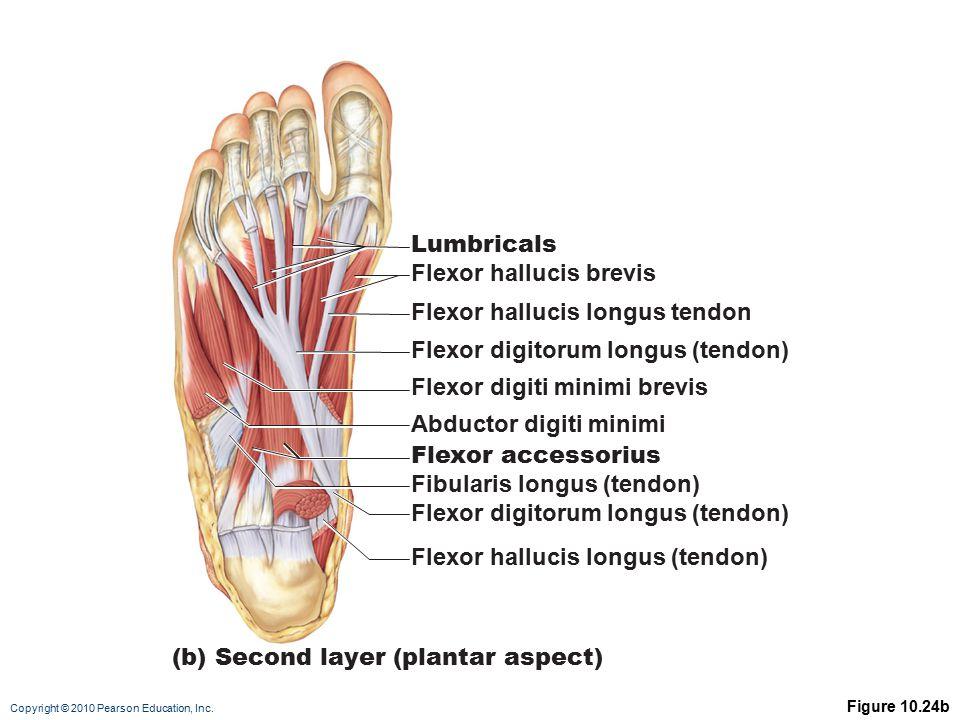 Copyright © 2010 Pearson Education, Inc. Figure 10.24b Lumbricals Flexor hallucis brevis Flexor digitorum longus (tendon) Flexor digiti minimi brevis