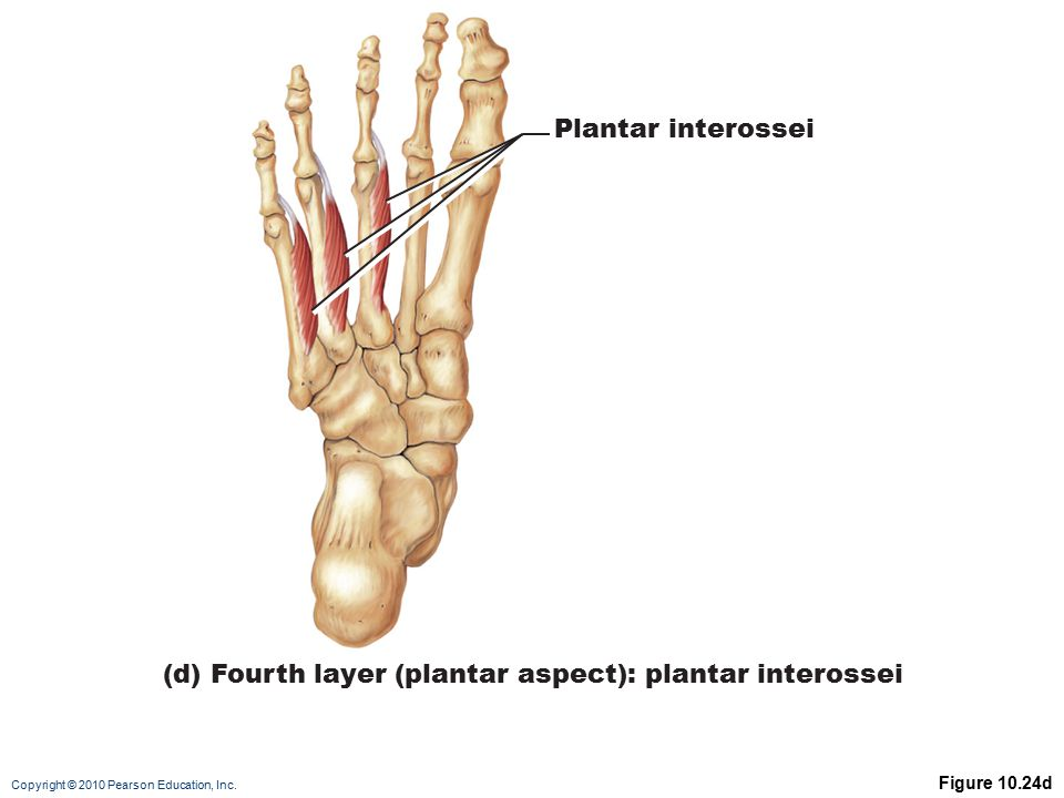 Copyright © 2010 Pearson Education, Inc. Figure 10.24d Plantar interossei (d) Fourth layer (plantar aspect): plantar interossei