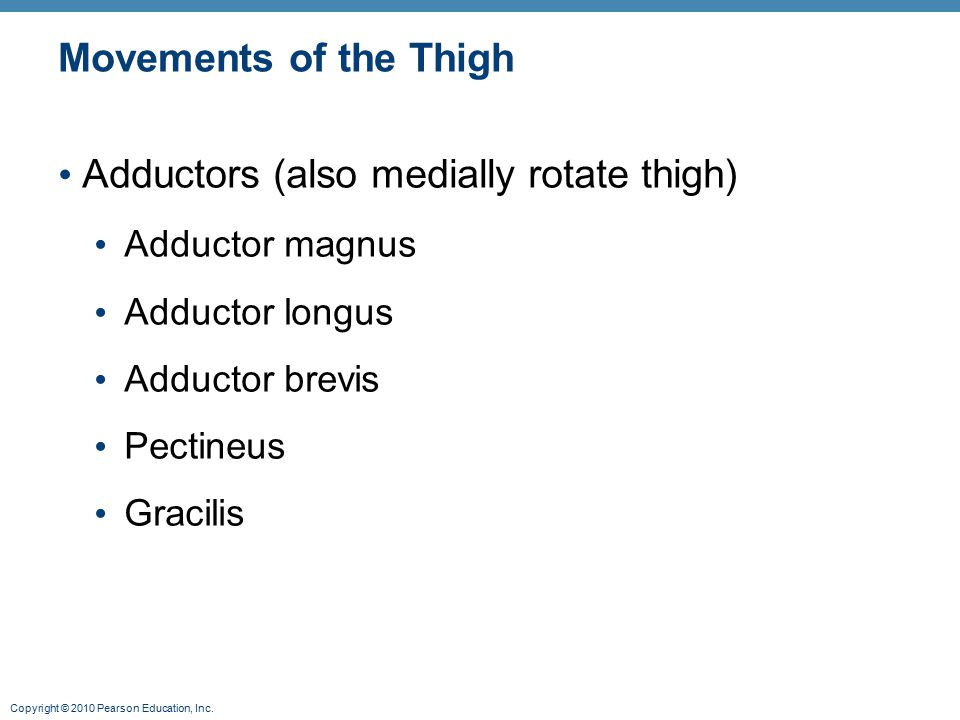 Copyright © 2010 Pearson Education, Inc. Movements of the Thigh Adductors (also medially rotate thigh) Adductor magnus Adductor longus Adductor brevis