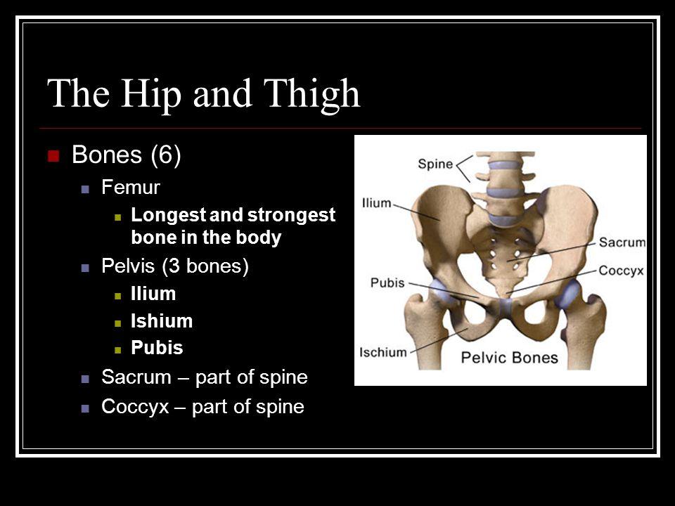 The Hip and Thigh Bones (6) Femur Longest and strongest bone in the body Pelvis (3 bones) Ilium Ishium Pubis Sacrum – part of spine Coccyx – part of spine