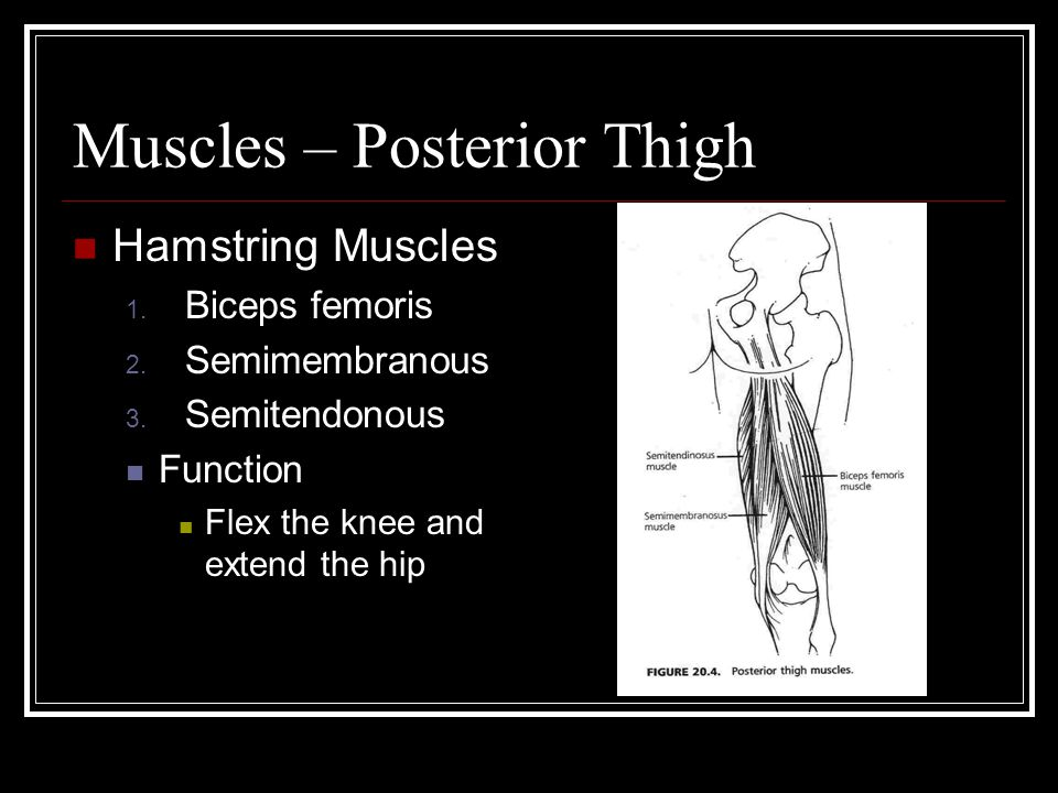 Muscles – Posterior Thigh Hamstring Muscles 1. Biceps femoris 2.