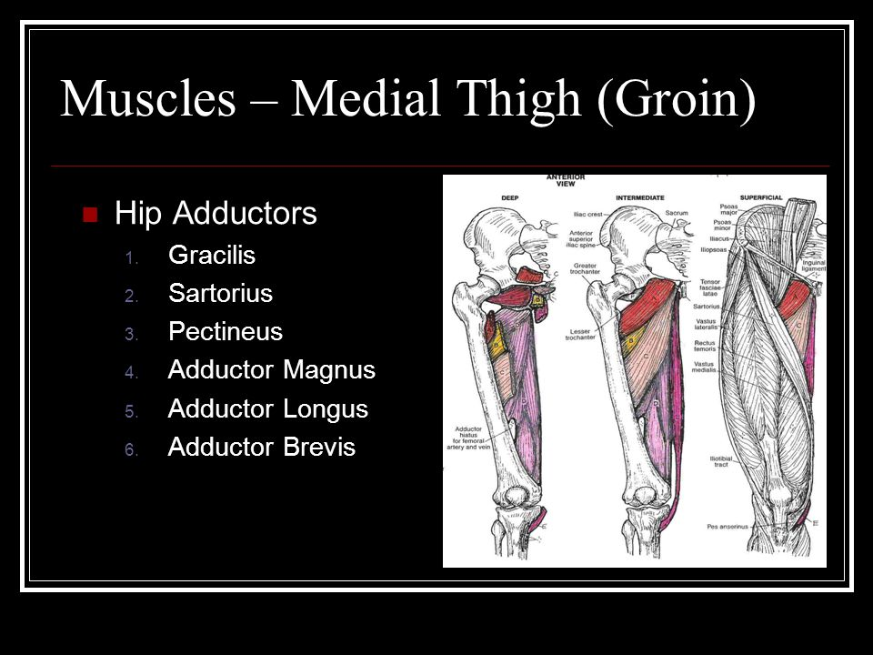 Muscles – Medial Thigh (Groin) Hip Adductors 1. Gracilis 2.