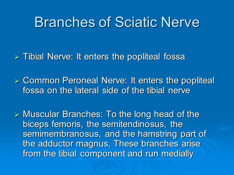 Branches of Sciatic Nerve  Tibial Nerve: It enters the popliteal fossa  Common Peroneal Nerve: It enters the popliteal fossa on the lateral side of