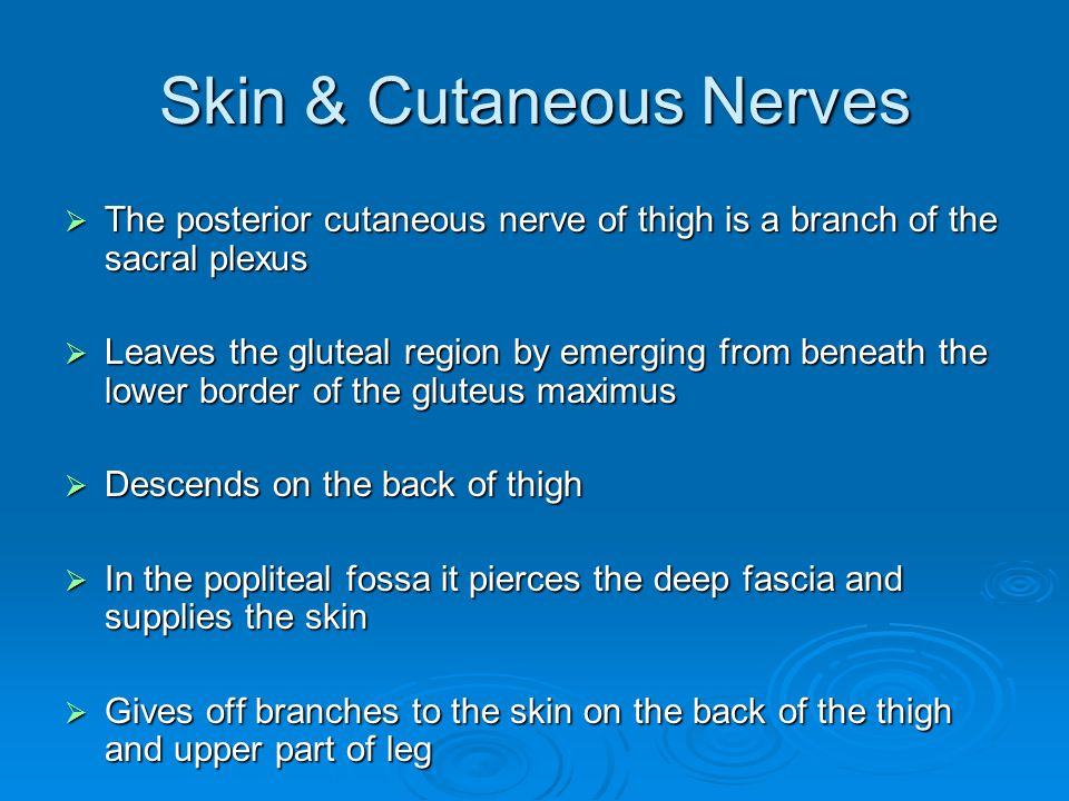 Skin & Cutaneous Nerves  The posterior cutaneous nerve of thigh is a branch of the sacral plexus  Leaves the gluteal region by emerging from beneath