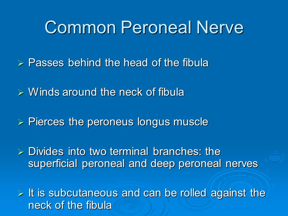 Common Peroneal Nerve  Passes behind the head of the fibula  Winds around the neck of fibula  Pierces the peroneus longus muscle  Divides into two
