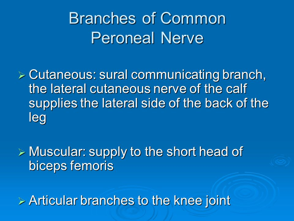 Branches of Common Peroneal Nerve  Cutaneous: sural communicating branch, the lateral cutaneous nerve of the calf supplies the lateral side of the ba