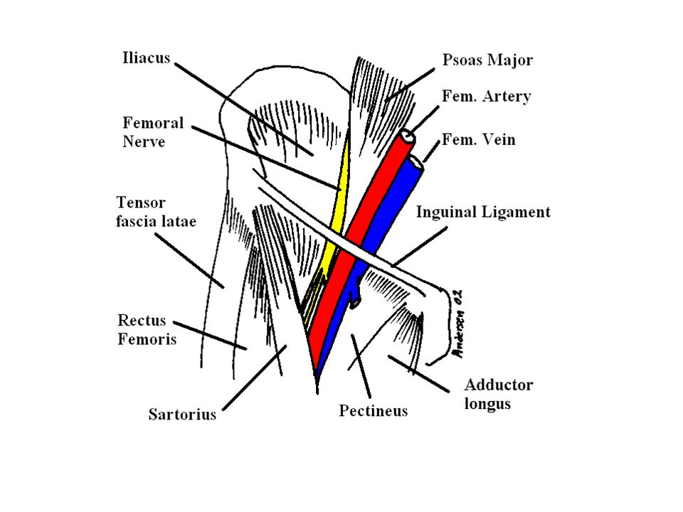 Femoral Triangle Floor: Floor: Iliopsoas muscle. Pectineus muscle. Adductor longus muscle.
