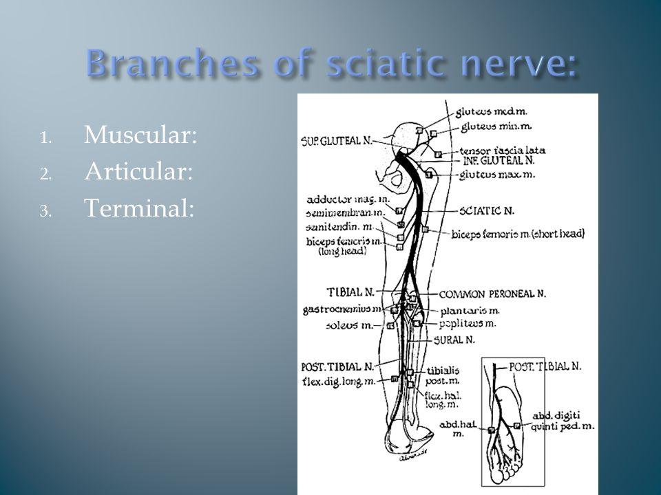 1. Muscular: 2. Articular: 3. Terminal: