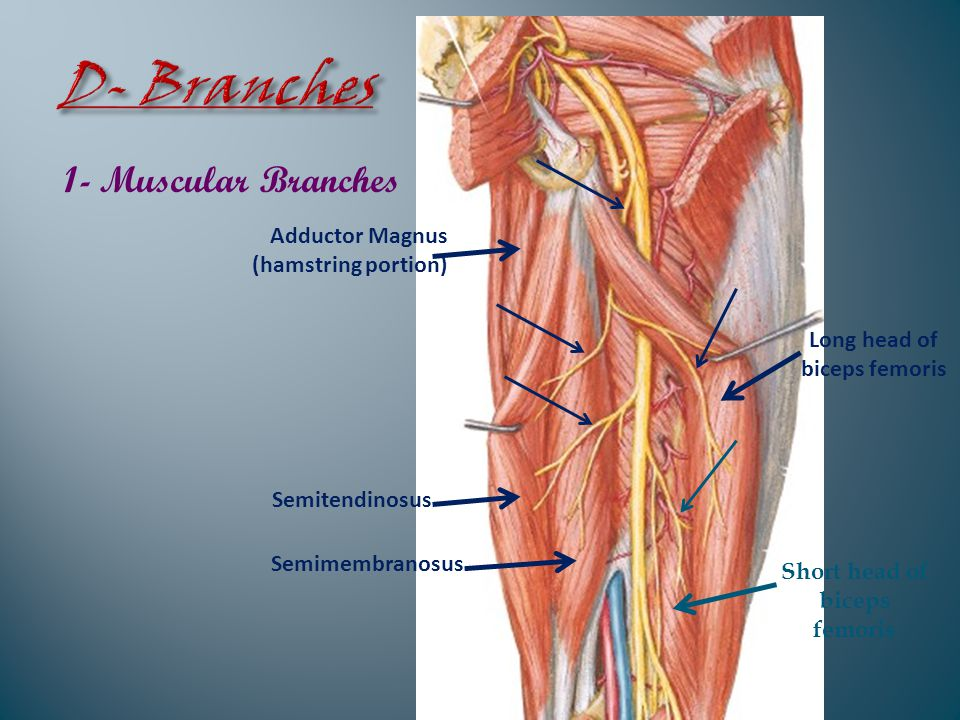1- Muscular Branches Long head of biceps femoris Short head of biceps femoris Semitendinosus Semimembranosus Adductor Magnus (hamstring portion)