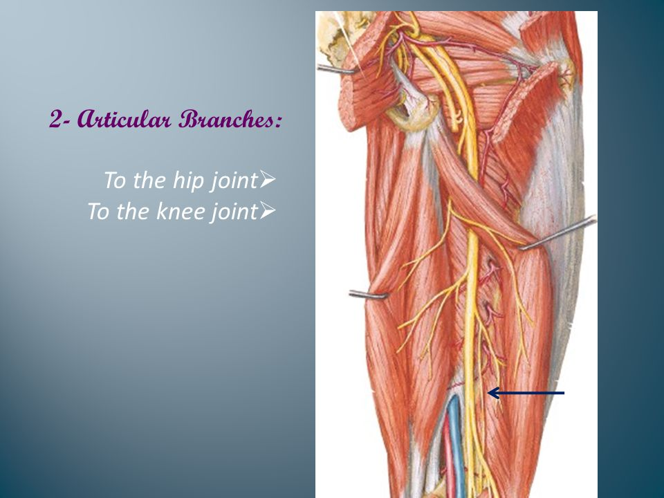 2- Articular Branches:  To the hip joint  To the knee joint