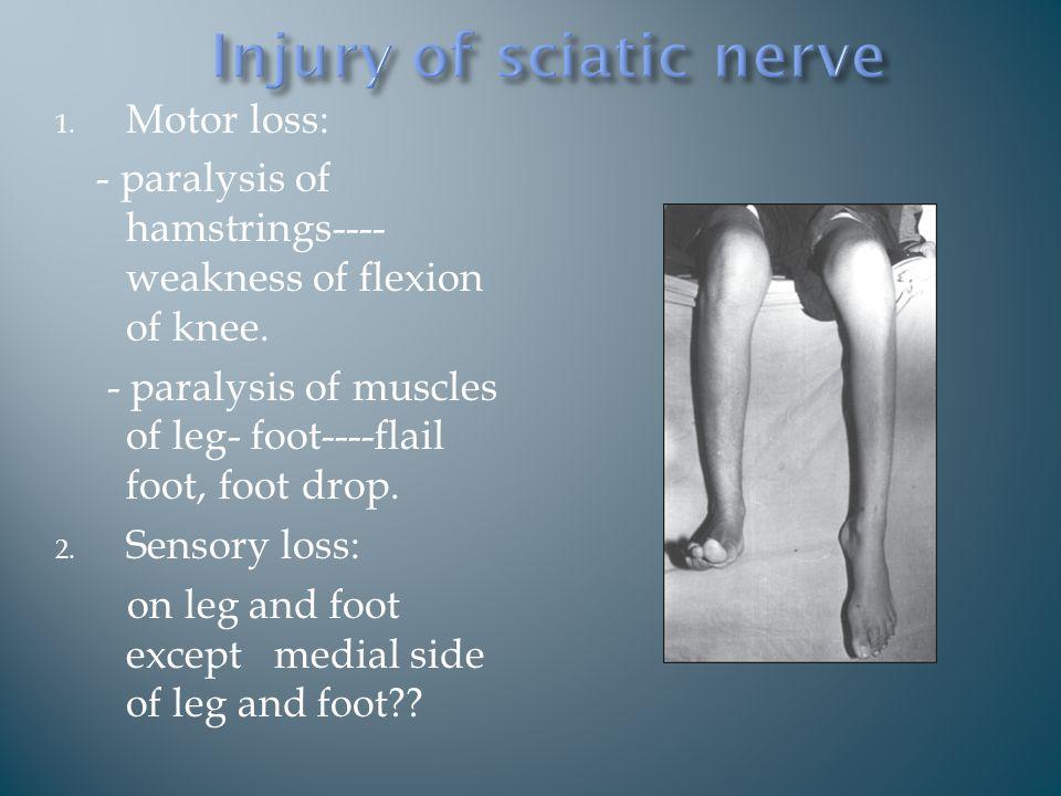 1. Motor loss: - paralysis of hamstrings---- weakness of flexion of knee.