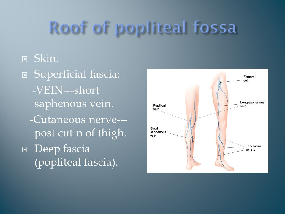  Skin.  Superficial fascia: -VEIN---short saphenous vein.