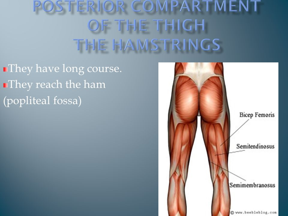 They have long course. They reach the ham (popliteal fossa)