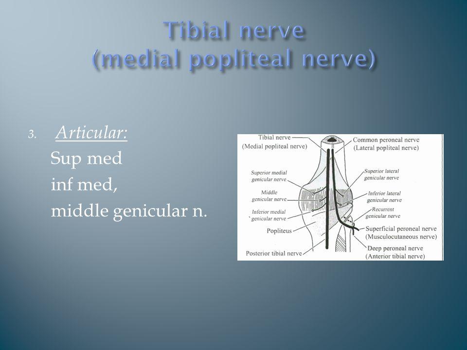 3. Articular: Sup med inf med, middle genicular n.