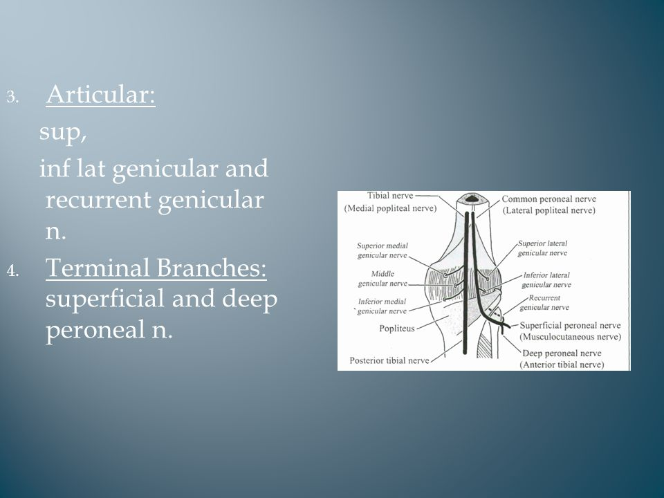 3. Articular: sup, inf lat genicular and recurrent genicular n.