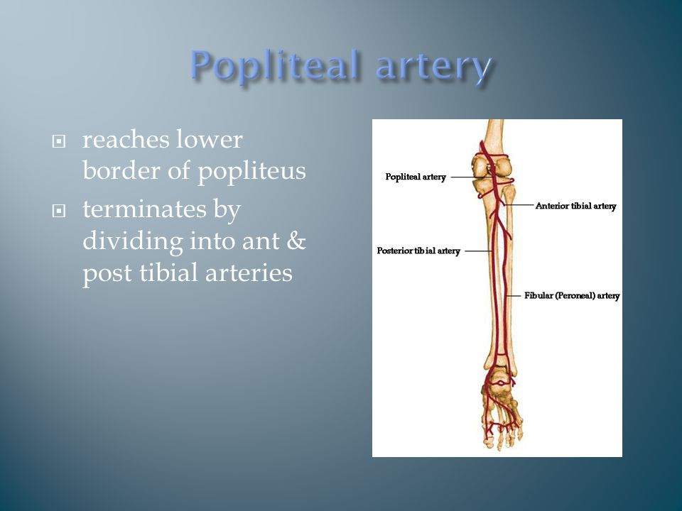 reaches lower border of popliteus  terminates by dividing into ant & post tibial arteries