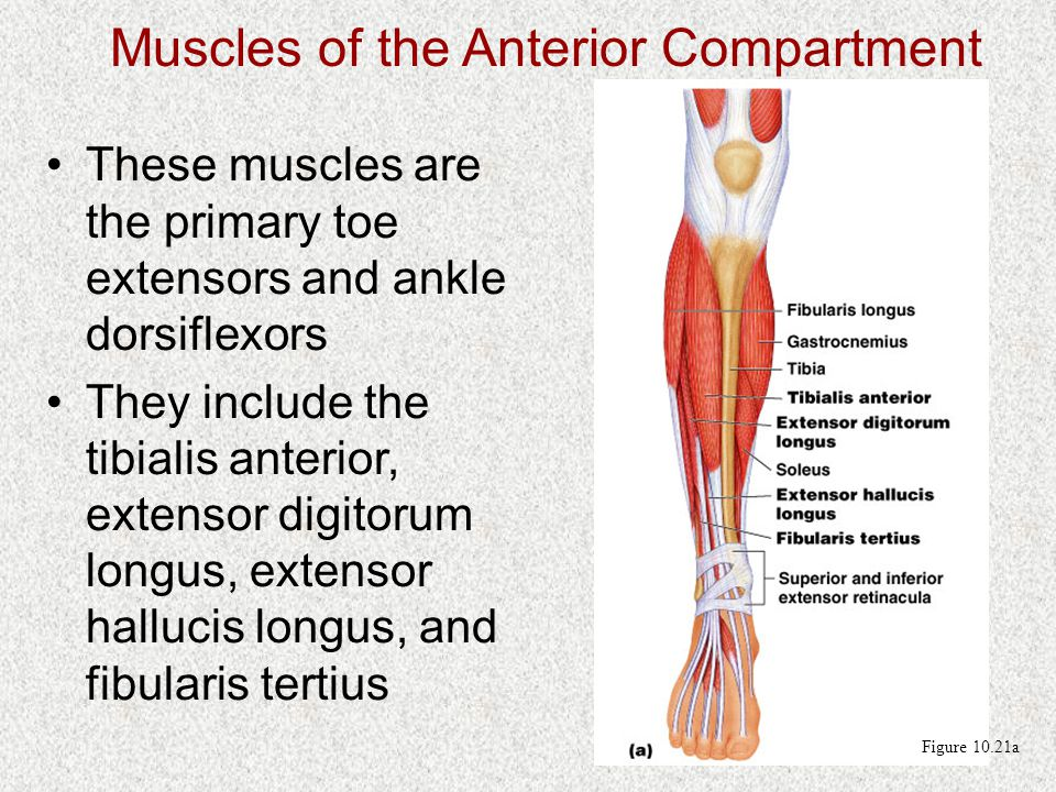 Muscles of the Anterior Compartment These muscles are the primary toe extensors and ankle dorsiflexors They include the tibialis anterior, extensor digitorum longus, extensor hallucis longus, and fibularis tertius Figure 10.21a