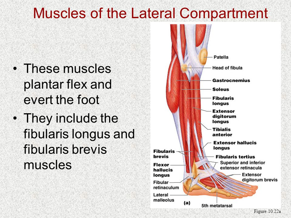 Muscles of the Lateral Compartment These muscles plantar flex and evert the foot They include the fibularis longus and fibularis brevis muscles Figure 10.22a