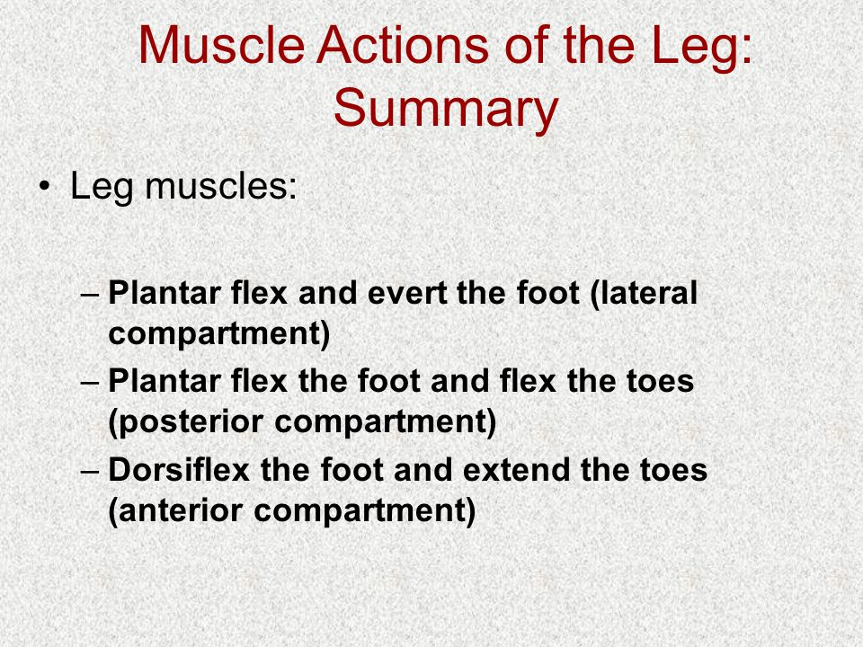 Muscle Actions of the Leg: Summary Leg muscles: –Plantar flex and evert the foot (lateral compartment) –Plantar flex the foot and flex the toes (posterior compartment) –Dorsiflex the foot and extend the toes (anterior compartment)