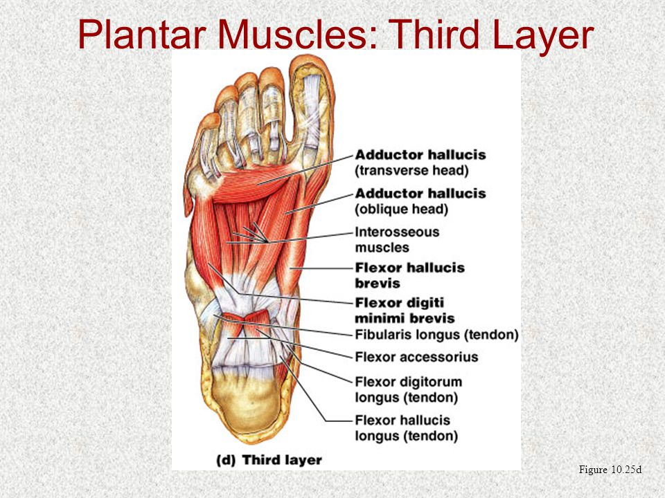 Figure 10.25d Plantar Muscles: Third Layer