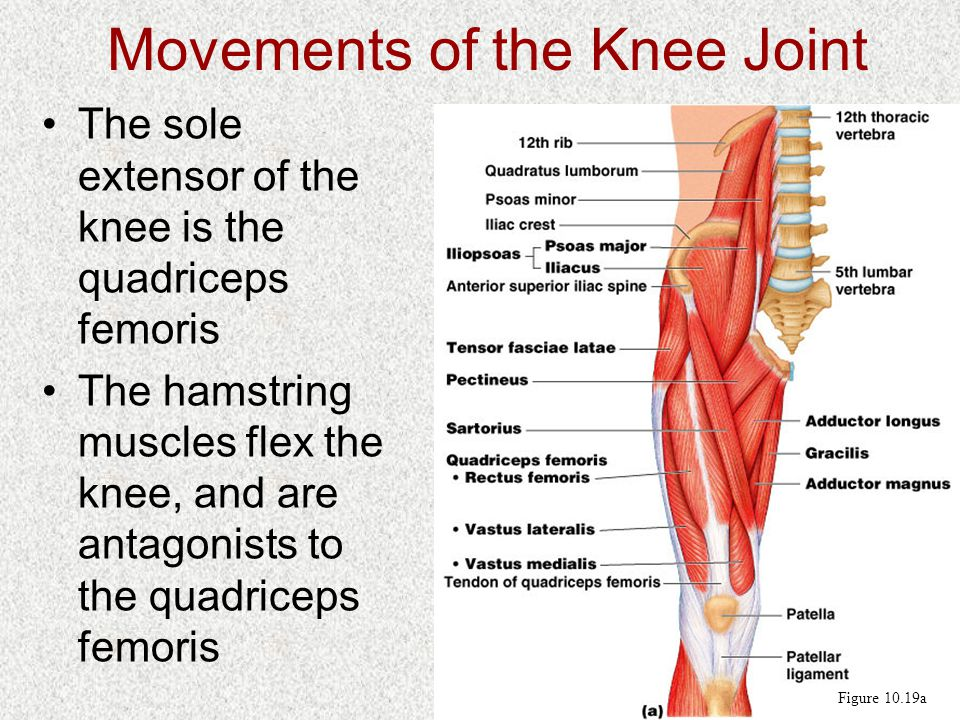 Movements of the Knee Joint The sole extensor of the knee is the quadriceps femoris The hamstring muscles flex the knee, and are antagonists to the quadriceps femoris Figure 10.19a