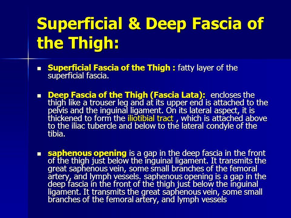 Superficial & Deep Fascia of the Thigh: Superficial Fascia of the Thigh : fatty layer of the superficial fascia. Superficial Fascia of the Thigh : fat