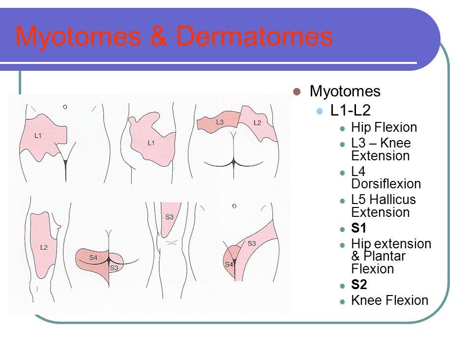 Myotomes & Dermatomes Myotomes L1-L2 Hip Flexion L3 – Knee Extension L4 Dorsiflexion L5 Hallicus Extension S1 Hip extension & Plantar Flexion S2 Knee
