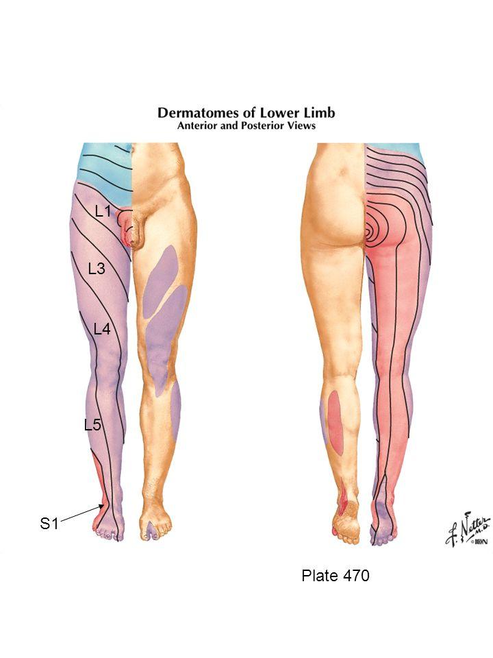 Plate 488 Lasteral cutaneous n.of thigh Iliopsoas m.