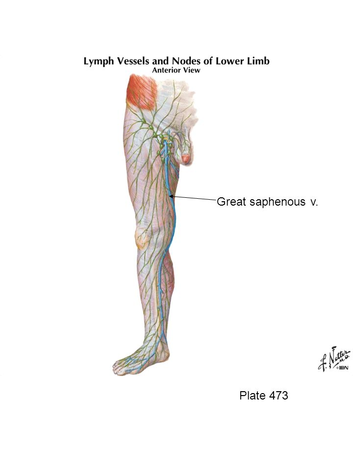Inguinal ligament Femoral n.Sartorius m. Femoral a.