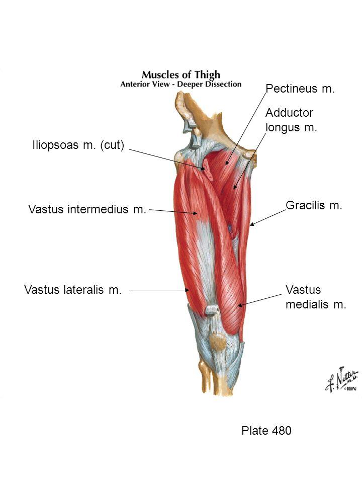 Plate 510 Crural fascia Posterior intermuscular septum Anterior intermuscular septum Interosseous membrane Transverse intermuscular septum Tibia Fibula Posterior compartment
