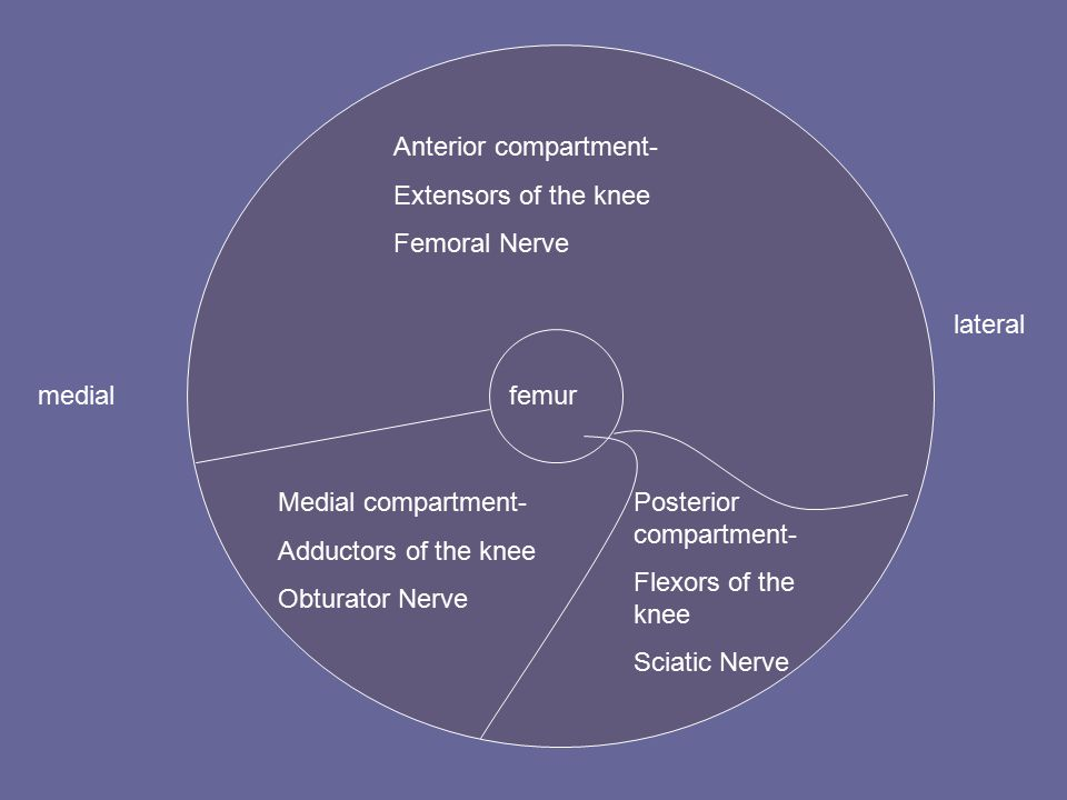 femurmedial lateral Anterior compartment- Extensors of the knee Femoral Nerve Medial compartment- Adductors of the knee Obturator Nerve Posterior compartment- Flexors of the knee Sciatic Nerve
