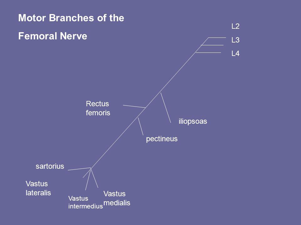 L2 L3 L4 iliopsoas Rectus femoris pectineus Vastus medialis Vastus intermedius sartorius Vastus lateralis Motor Branches of the Femoral Nerve