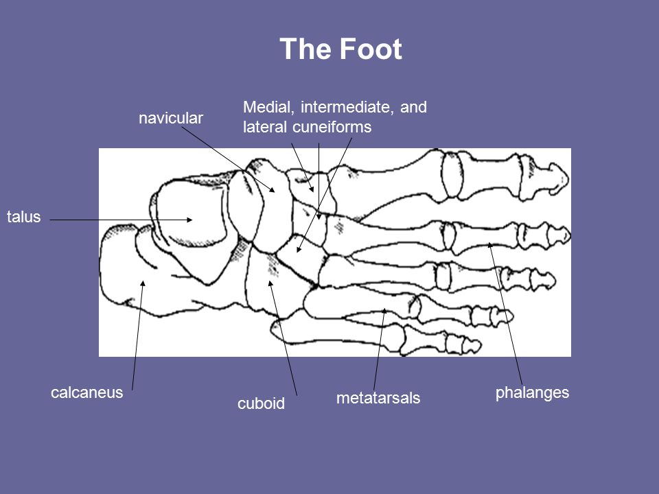 calcaneus talus cuboid navicular Medial, intermediate, and lateral cuneiforms metatarsals phalanges The Foot
