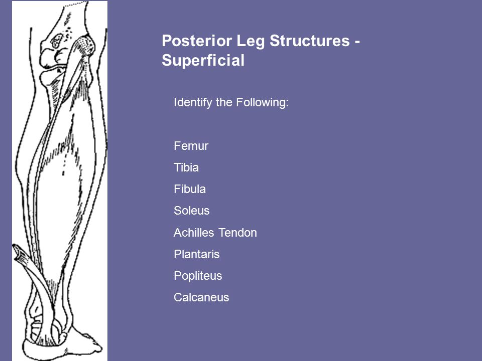 Posterior Leg Structures - Superficial Identify the Following: Femur Tibia Fibula Soleus Achilles Tendon Plantaris Popliteus Calcaneus