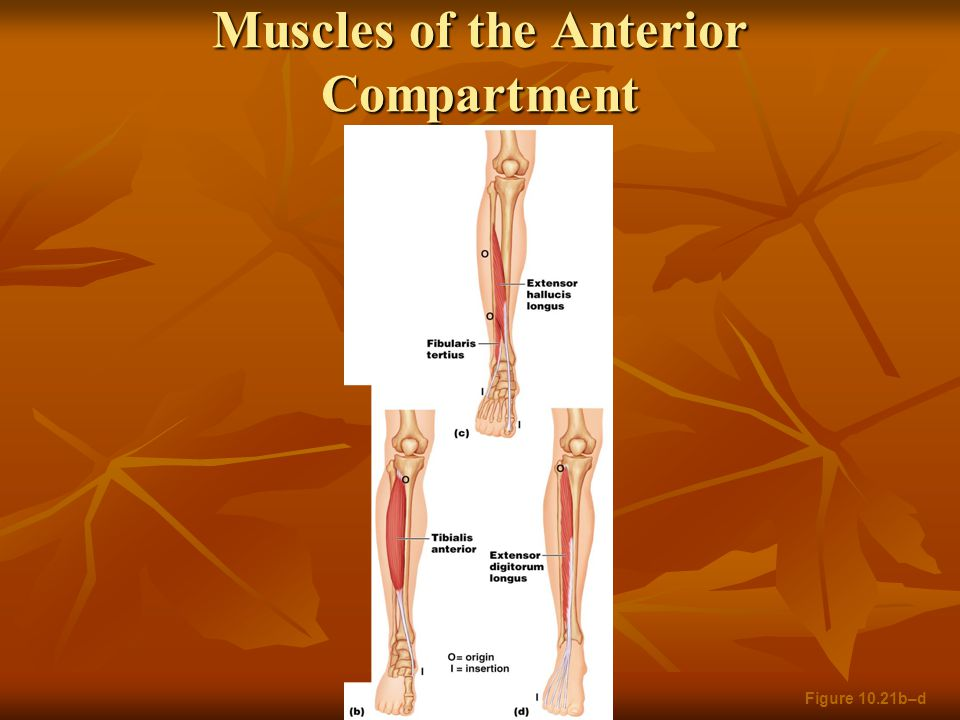 Muscles of the Anterior Compartment Figure 10.21b–d