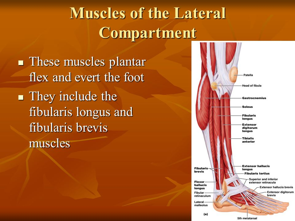 Muscles of the Lateral Compartment These muscles plantar flex and evert the foot These muscles plantar flex and evert the foot They include the fibula