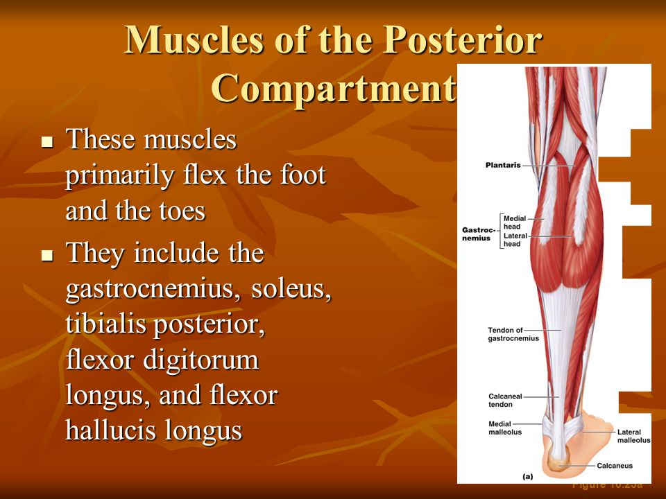 Muscles of the Posterior Compartment These muscles primarily flex the foot and the toes These muscles primarily flex the foot and the toes They includ