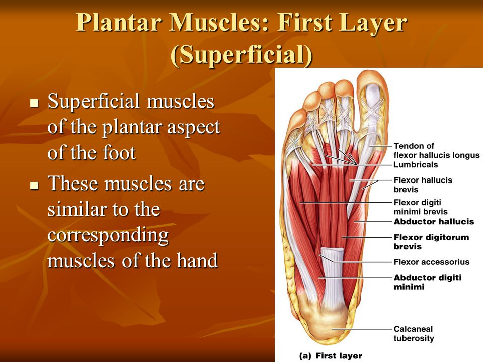 Plantar Muscles: First Layer (Superficial) Superficial muscles of the plantar aspect of the foot Superficial muscles of the plantar aspect of the foot