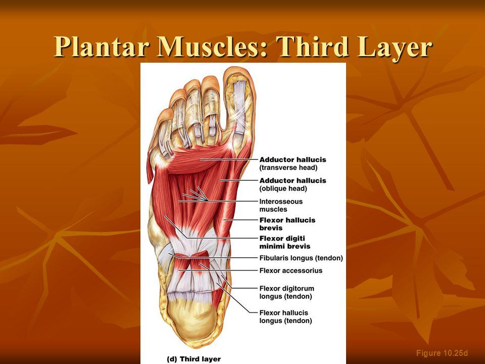 Plantar Muscles: Third Layer Figure 10.25d