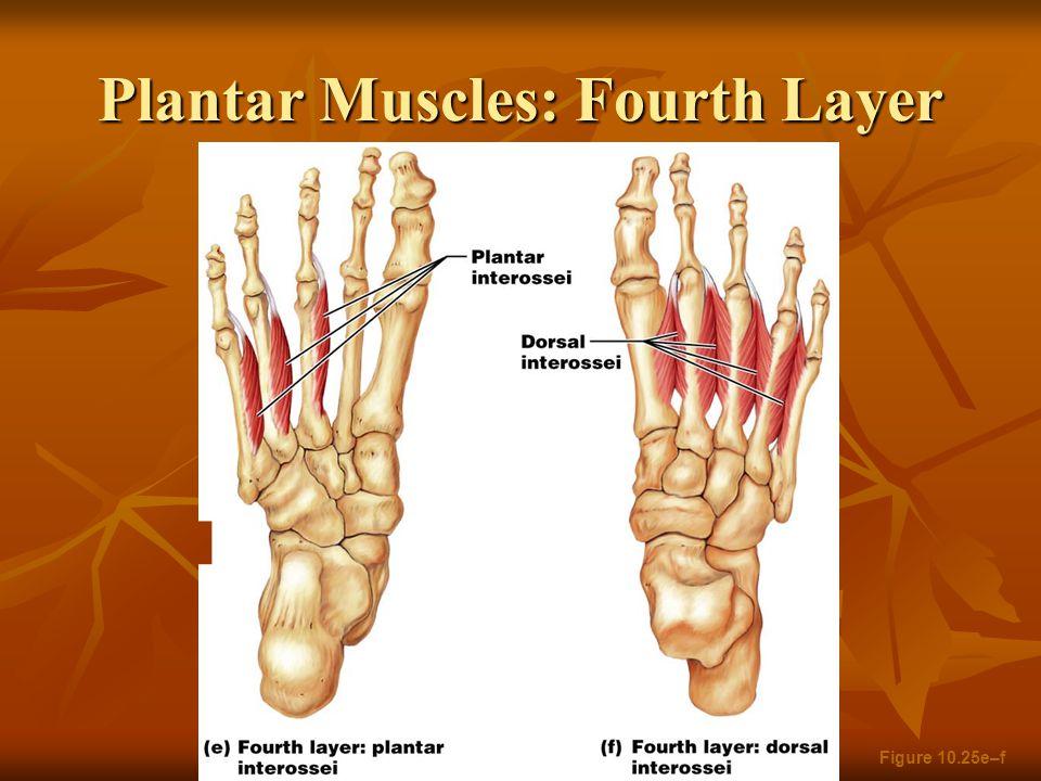 Plantar Muscles: Fourth Layer Figure 10.25e–f