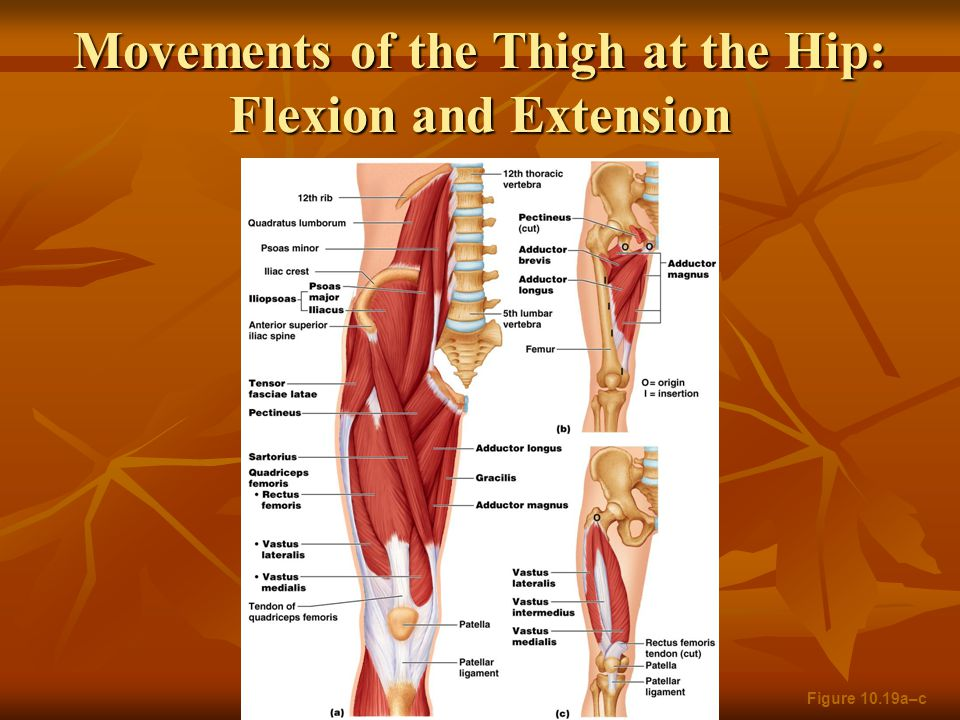 Movements of the Thigh at the Hip: Flexion and Extension Figure 10.19a–c