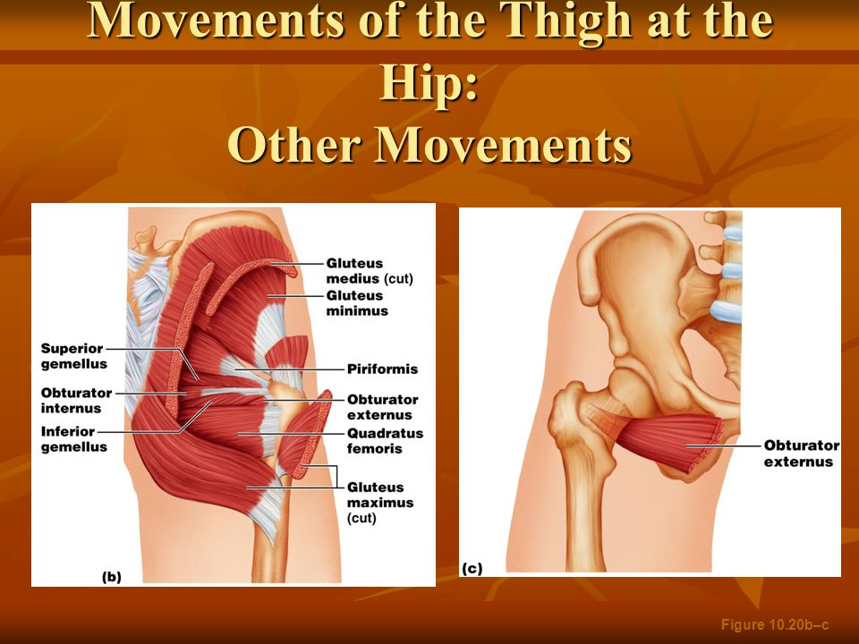 Movements of the Thigh at the Hip: Other Movements Figure 10.20b–c